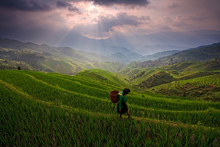 a Chinese peasant walks on rice terraces