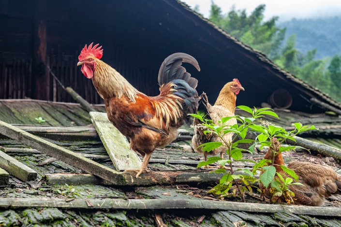 a rooster and a chicken outdoors