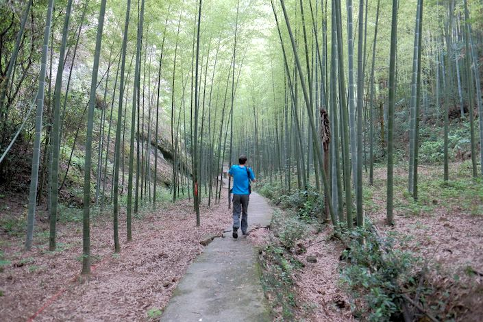 a man in a blue shirt walking down a path away from the camera amidst a forest of bamboo