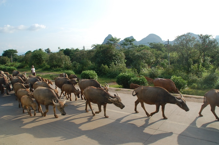 a group of water buffalo walking down a road in China