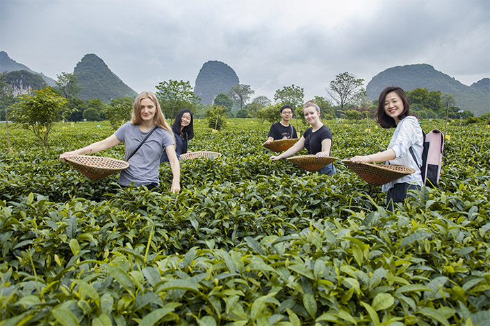 students and a Yangshuo travel guide pose with baskets as they pick Chinese tea with karst mountains behind them