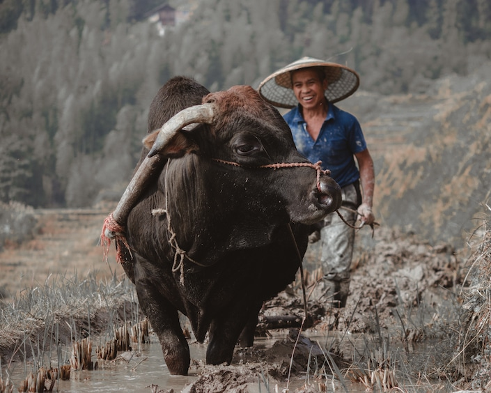 a Chinese farmer in a hat leading an ox through a muddy field