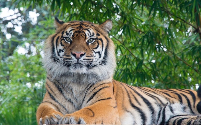 a photograph of a tiger with trees in the background