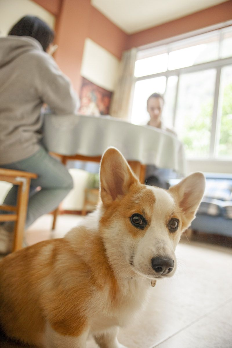 a tan and white dog looks at the camera as a student and teacher hold class around a table in the background